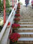裏街道(夫婦坂)脇の菊