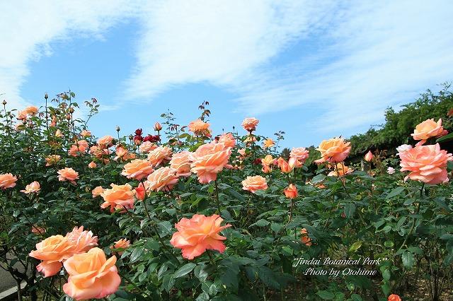 fIMG_2611神代植物公園