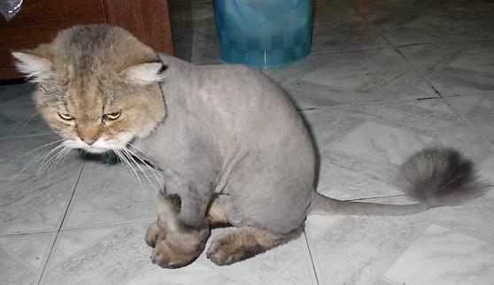 Shaved20Cat202.jpg