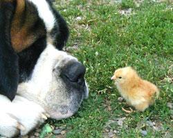 dogchicken_w.jpg