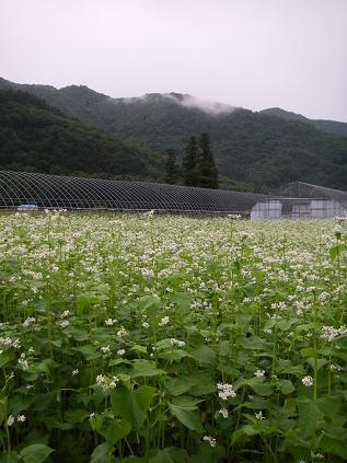 ソバ畑(8月)