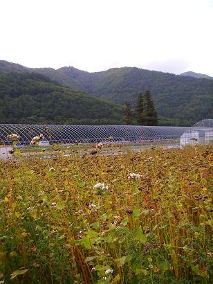 ソバ畑(10月)