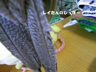 レイちゃんの尾羽