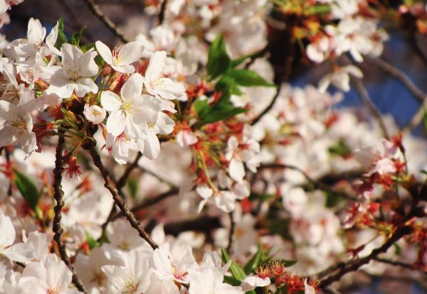 himaneko sakura