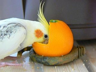 餌入れ(オレンジ)でおやつをほおばるそらちゃん