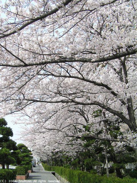 桜並木を歩いてきました