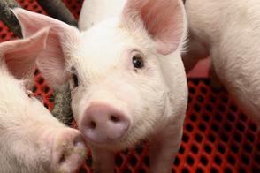 豚 インフルエンザ 感染 危険