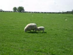 コッツウォルズの羊
