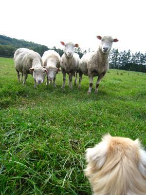 そらちゃんと羊