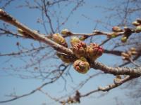 桜のつぼみ (2)
