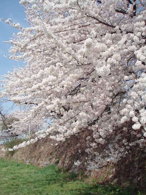 09桜 (3)