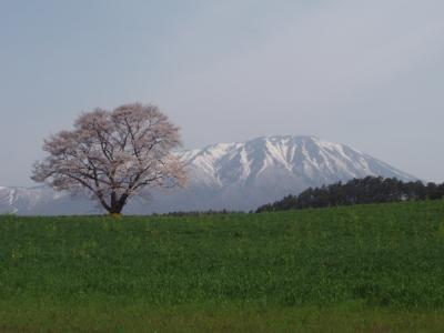 小岩井の桜 (2)