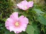 芙蓉の花2