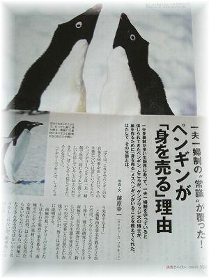 penguin kiji