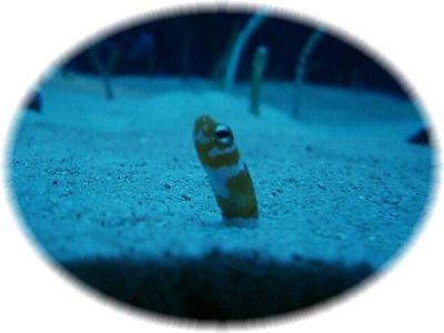 garden eel4