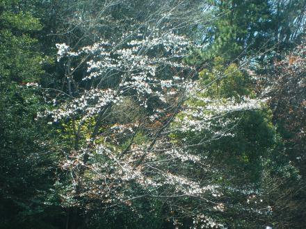 サクラが咲き始めました!