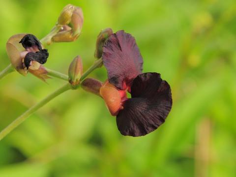 クロバナツルアズキの花