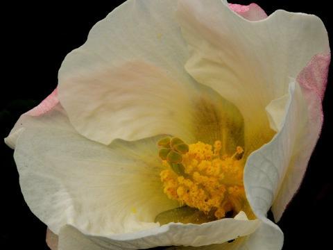 サキシマフヨウの花