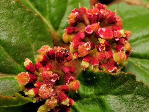 シマニシキソウの花と実
