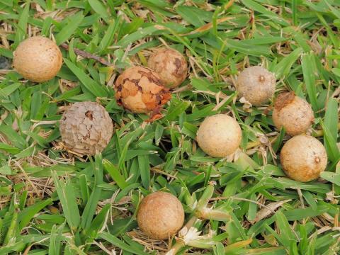 テリハボクの果実と種子