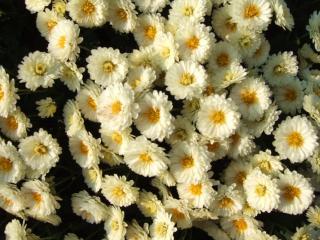 小さな菊の花がいっぱい