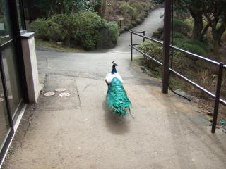 孔雀が散歩?