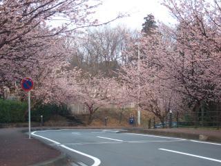 桜咲くよ桜咲くよサクラ