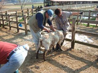 羊の毛刈りです