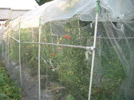 日当たりも悪いトマトたち