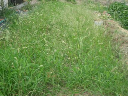 雑草畑になっている!