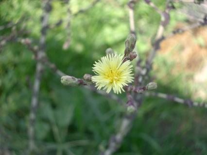木の花のような咲き方