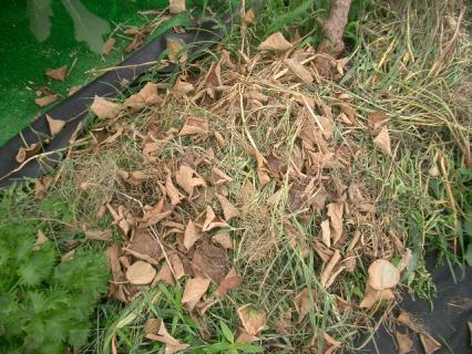 葉っぱが枯れて落ちてしまった!
