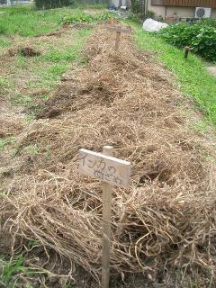 冬ジャガイモを植え付けた