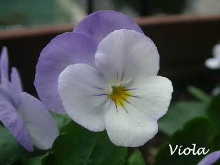 viola-v