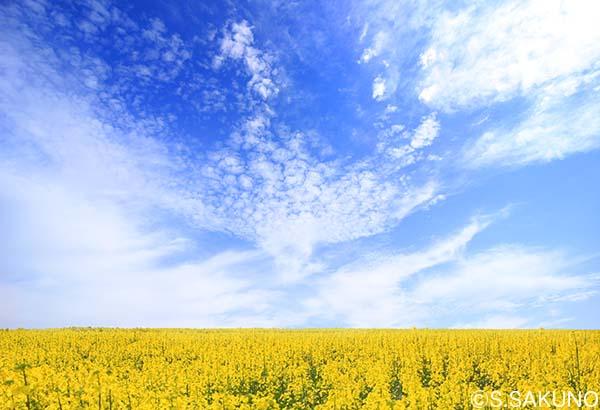 富良野の菜の花畑の印象