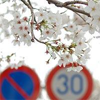 街路樹の桜