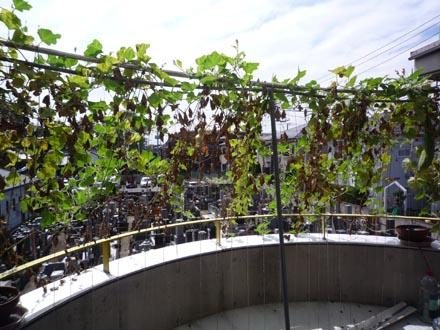 テラスの緑化最終風景
