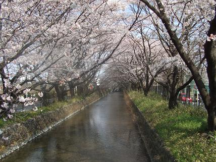 立川市砂川町 美影橋からの桜