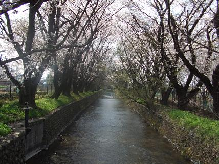 立川市砂川町 美影橋から桜の風景