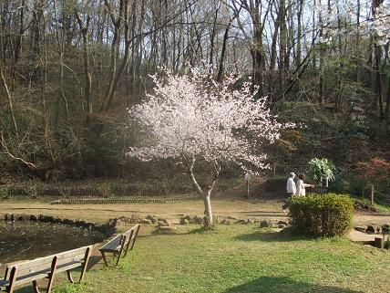 野山北公園の桜
