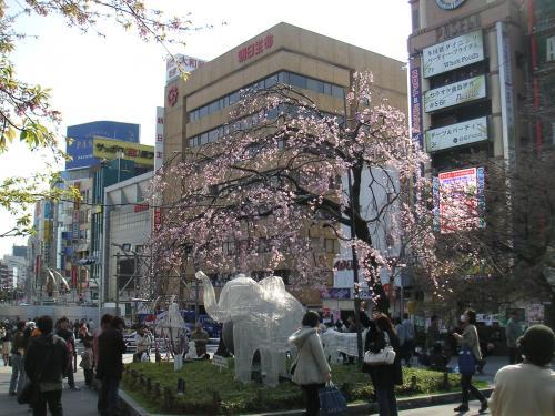 エドビガン系枝垂桜1