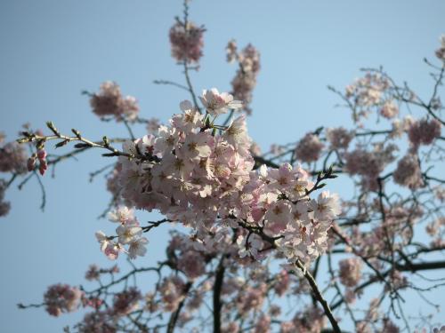 エドビガン系枝垂桜2