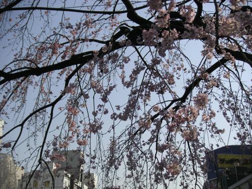 エドビガン系枝垂桜3
