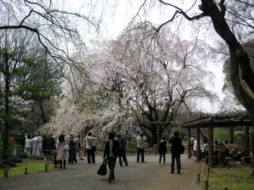 枝垂桜1(六)