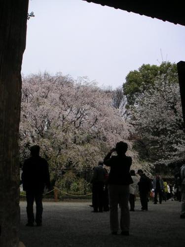 枝垂桜2(六)