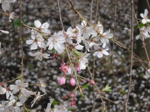 枝垂桜拡大(六)