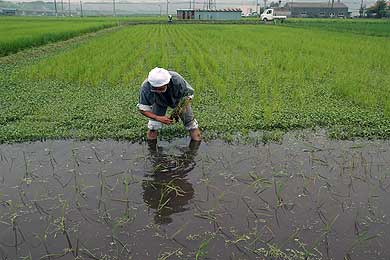 最後の田植えは緑モチ