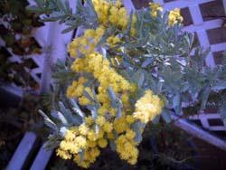 mimoza02.jpg