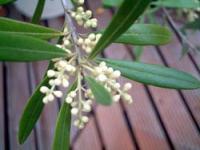 olive08.jpg