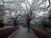sakura080326a.jpg